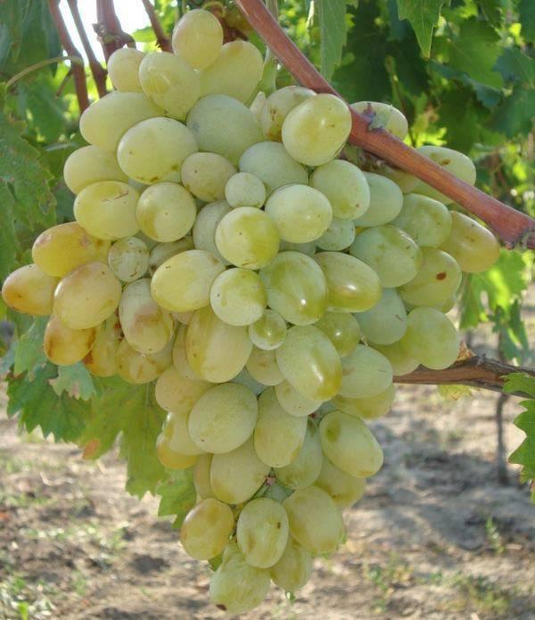 Виноград подарок запорожью и новый подарок запорожью