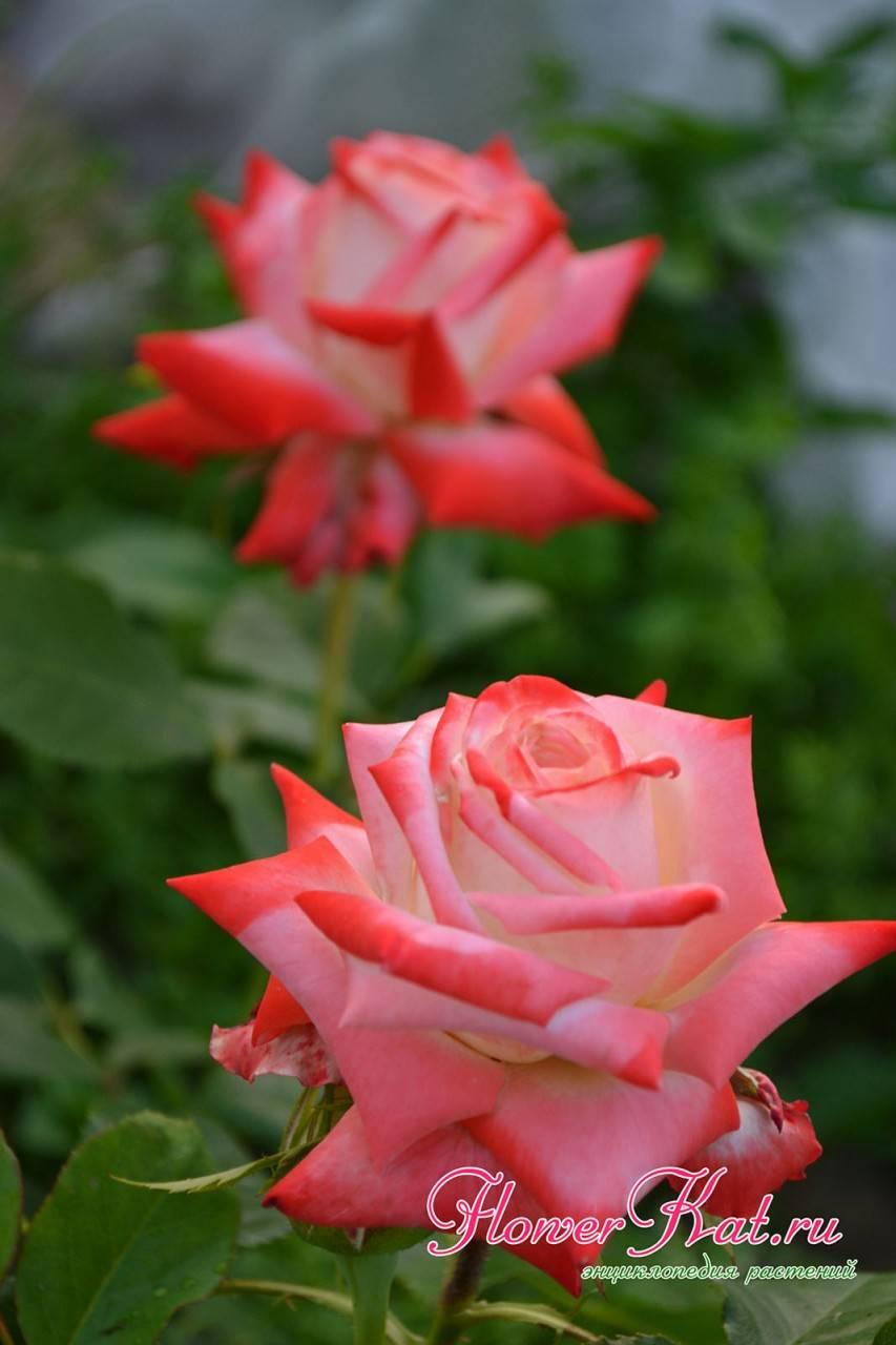 Особенности посадки и выращивания розы императрица фарах
