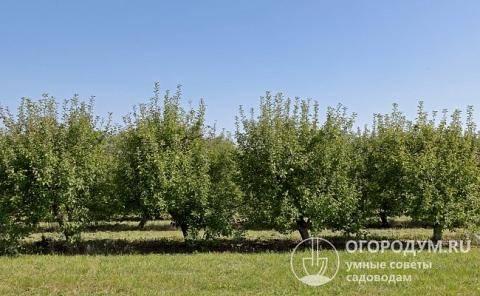 Яблоня братчуд: описание и характеристики сорта, выращивание и уход с фото