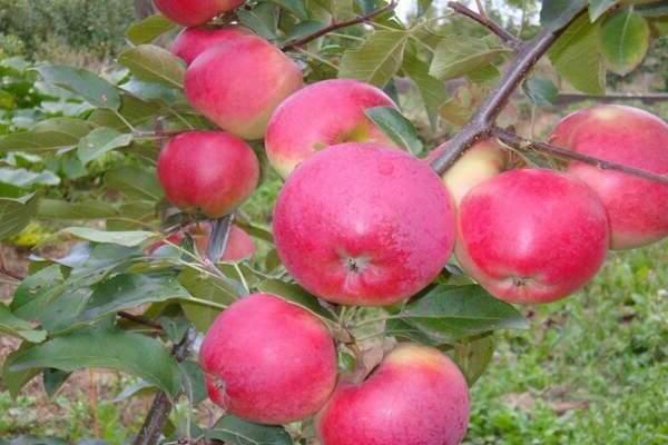 Яблоня кустовая кроха – есть ли смысл выращивать?