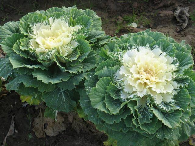 Декоративная капуста в ландшафтном дизайне: фото сортов и выращивание декоративной капусты