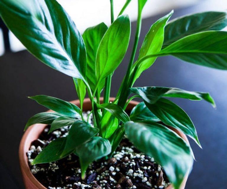 Удобрения для спатифиллума: чем подкормить цветок в домашних условиях