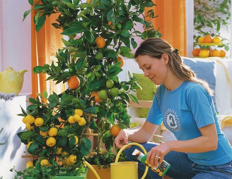 Когда и как пересадить дерево лимона в домашних условиях