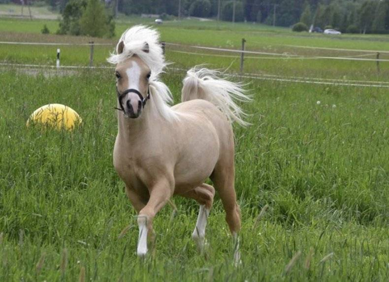Уэльский пони — характеристика и фото породы | мои лошадки