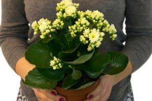Цветок «Каланхоэ»:уход в домашних условиях, фото, даты цветения