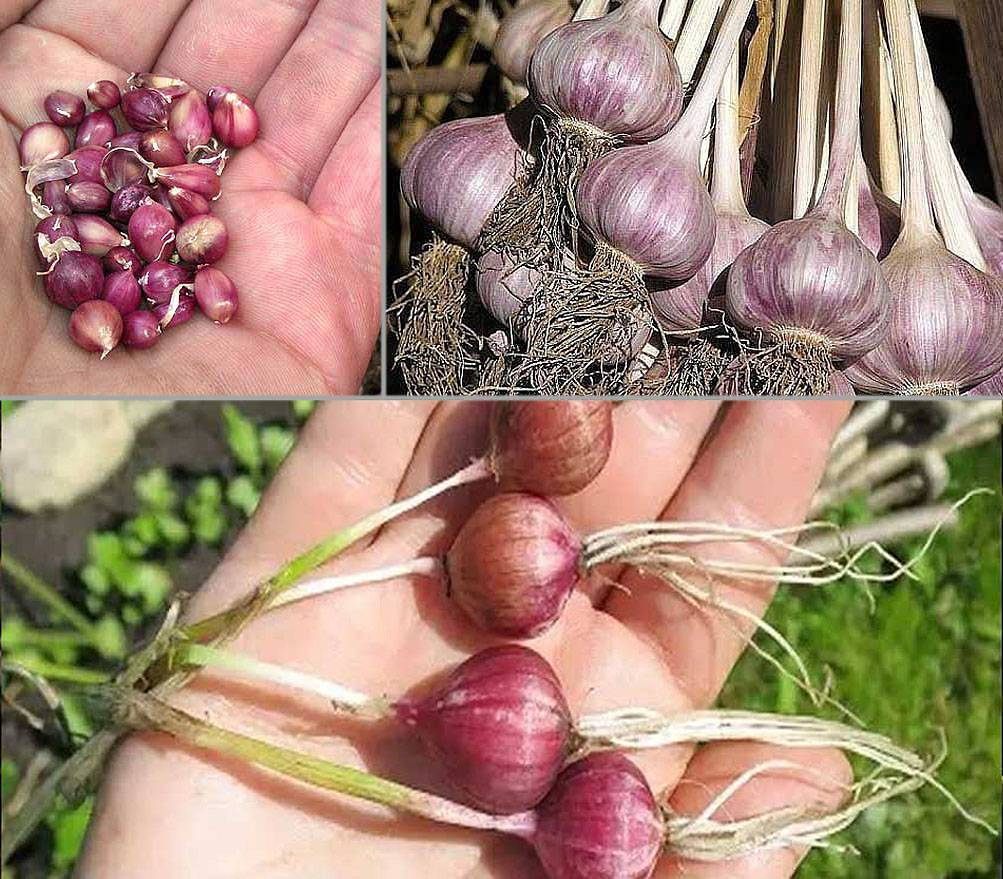 Как вырастить хороший урожай чеснока? всё о выращивании и уходе за чесноком. фото — ботаничка.ru