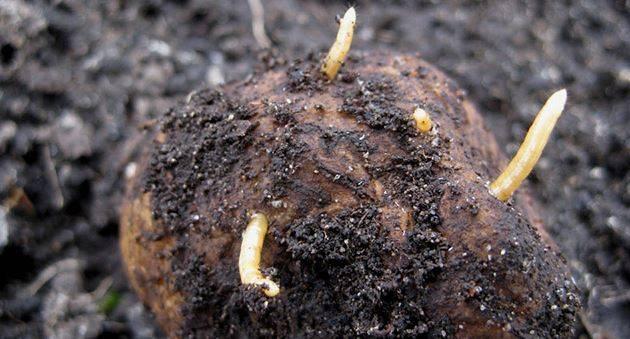 Проволочник: как избавиться на картофельном участке, фото, средства, борьба на моркови