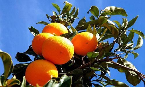 Сонник очищенный апельсин. к чему снится очищенный апельсин видеть во сне - сонник дома солнца