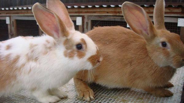 Прививки кроликам: какие и когда делать, схема вакцинации для начинающих