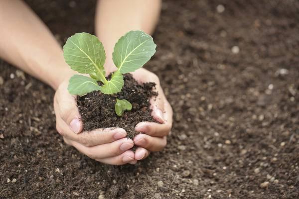 Капуста - выращивание рассады, уход за капустой в открытом грунте, сбор урожая
