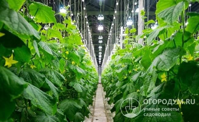 Огурец амур f1: описание, выращивание, уход, фото