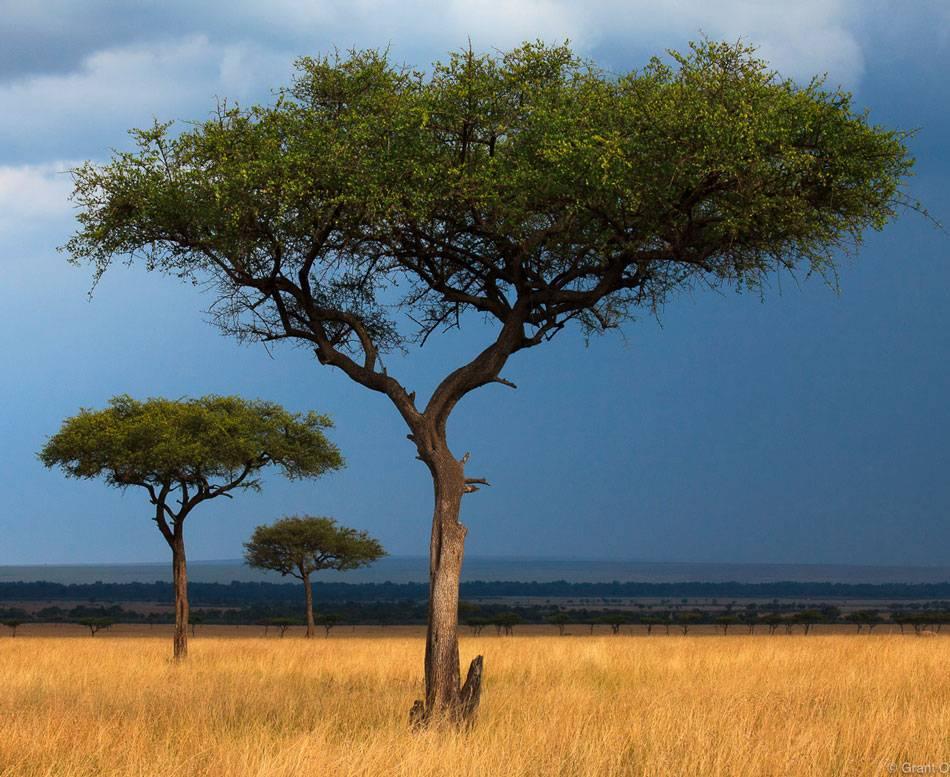 Кустарниковая акация: желтая и белая, описание, это дерево или кустарник?