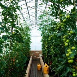 Какой способ подвязки помидор лучше?