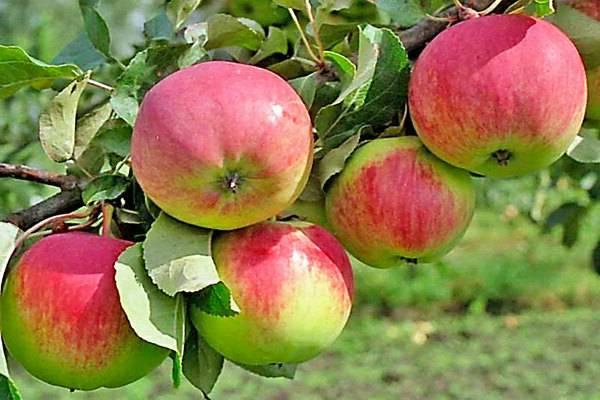 Яблоня свежесть: описание сорта, выращивание, отзывы и фото
