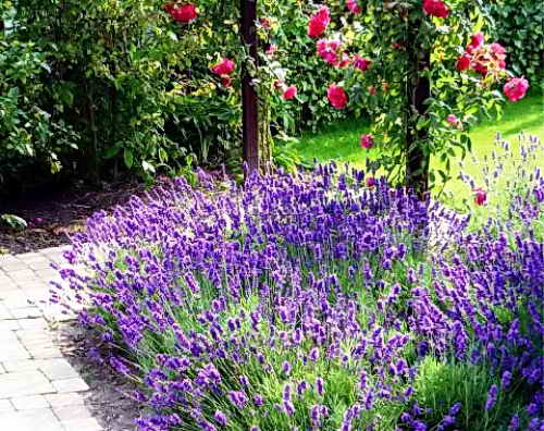 Посадка лаванды семенами на рассаду в домашних условиях: сроки посева и правила выращивания