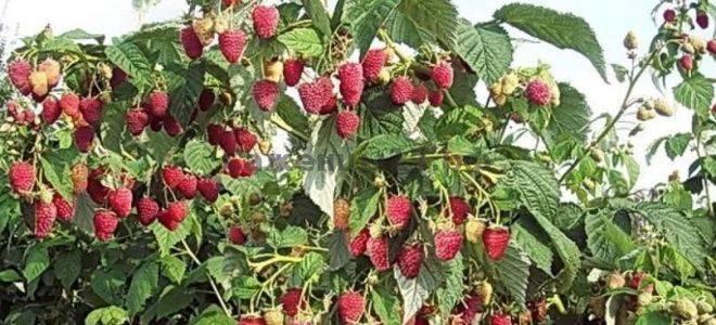 Малина шапка мономаха и особенности ее выращивания
