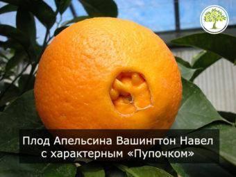 Описание апельсина вашингтон навел