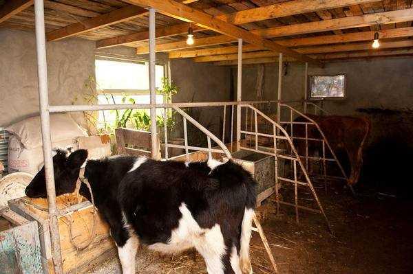 Коровник на 5 коров: схема, размеры