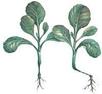 Распространенные болезни капусты: описание с фото, эффективное лечение