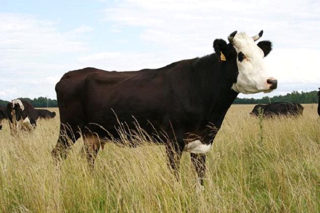 Ярославская порода коров (31 фото): характеристика крс ярославской породы. как выбрать телят? особенности содержания и кормления телят, быков и коров