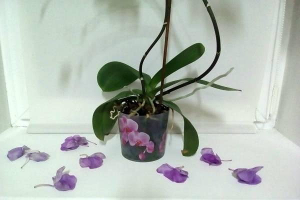 Почему у орхидеи опадают бутоны и цветы: 10 основных причин