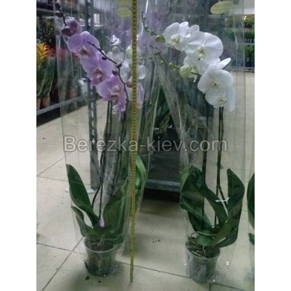 Фаленопсис мультифлора: сорта орхидеи с фото и названием, включая мираж, а также уход в домашних условиях