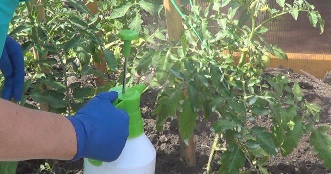 Подкормка томатов в теплице > уход и подкормка помидоров после высадки