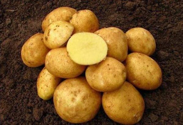 Картофель джелли: описание сорта, фото, отзывы.