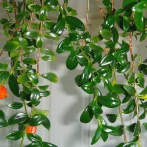Гипоцирта: фото цветка, уход в домашних условиях