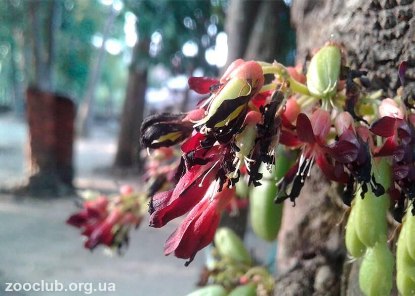 Огуречное дерево билимби - мыдачники
