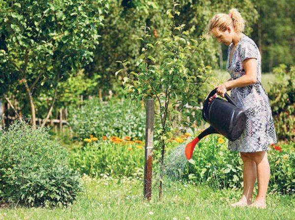 Груша в природе и в саду