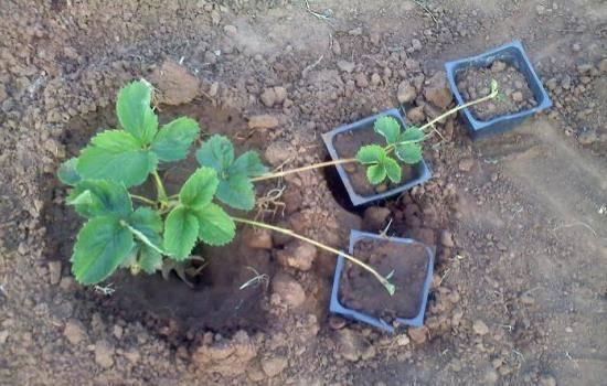 Пересаживаем правильно клубнику осенью на новое место