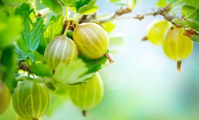 Крыжовник малахит: характеристика и описание сорта, опылители, размеры куста, вкус, урожайность, как посадить