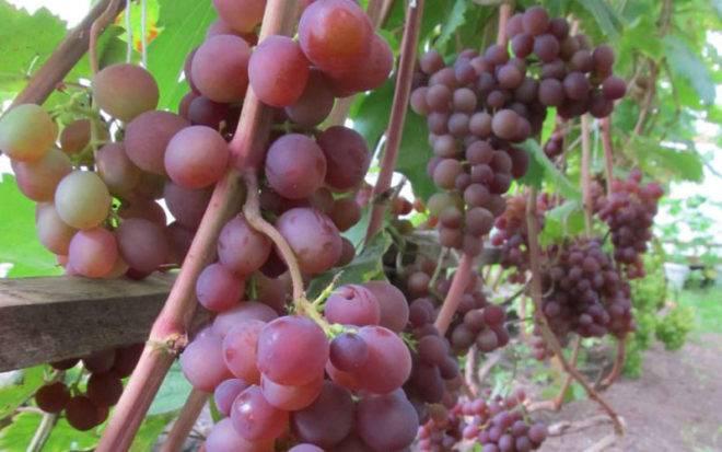 Черенки и саженцы винограда купить в минске, беларусь. полный каталог сортов.