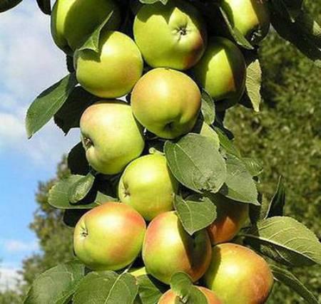 Описание сорта колоновидной яблони конференция