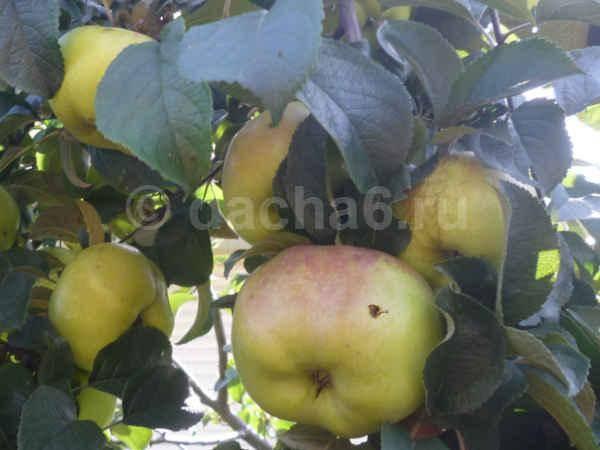 Меры борьбы с яблоневой плодожоркой