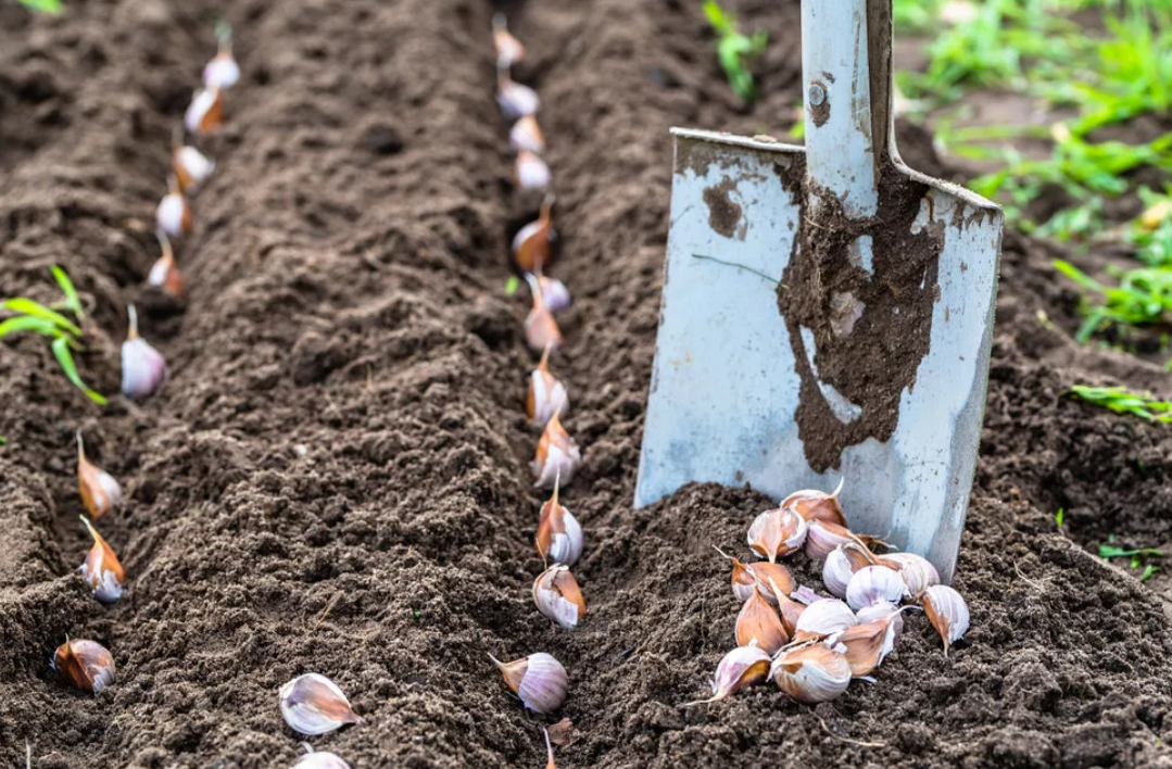 Когда выкапывать чеснок в саратовской, самарской, волгоградской и ульяновской области?