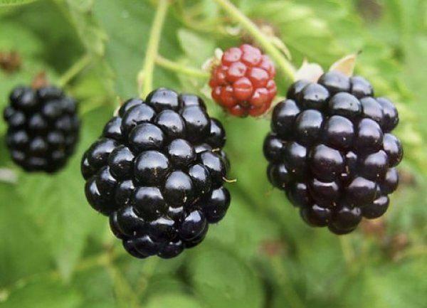 Ежевика полар: описание сорта, фотографии и отзывы садоводов