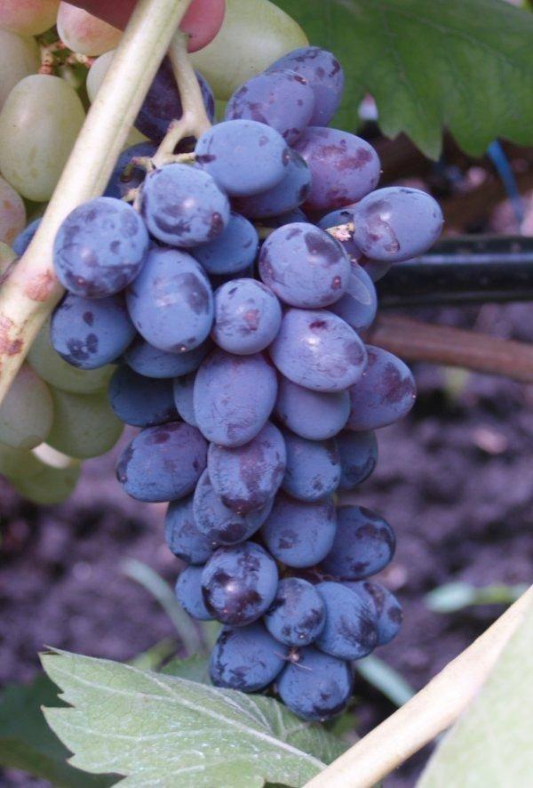 Виноград юпитер