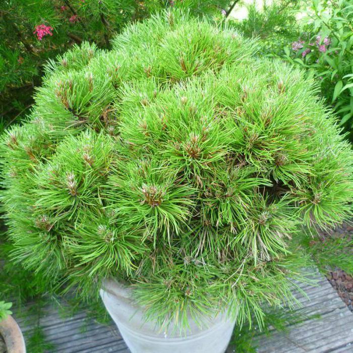 Сосна пумилио — уникальный хвойный кустарник для приусадебного участка