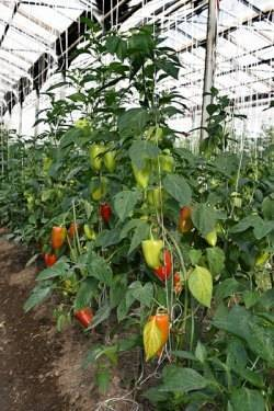 Выращивание перца в теплице из поликарбоната формирование, полив, уход пошагово видео