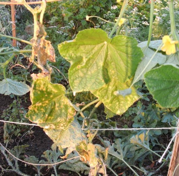 Огурцы желтеют и вянут листья: причины и что делать?