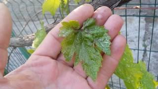 Антракноз винограда - лечение и профилактика, сорта которые не болеют