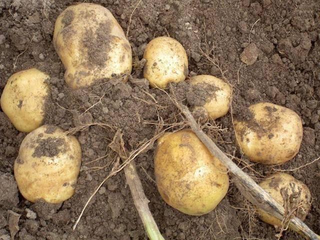 Сорт картофеля голубизна: характеристика, описание и фото, история селекционирования, особенности выращивания, уход, болезни и вредители корнеплода
