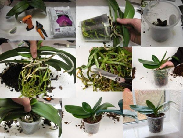 Воздушные корни орхидеи: почему их нет (совсем не растут) или наоборот слишком много и можно ли их убрать в горшок, а также фото, как их отличить от цветоноса