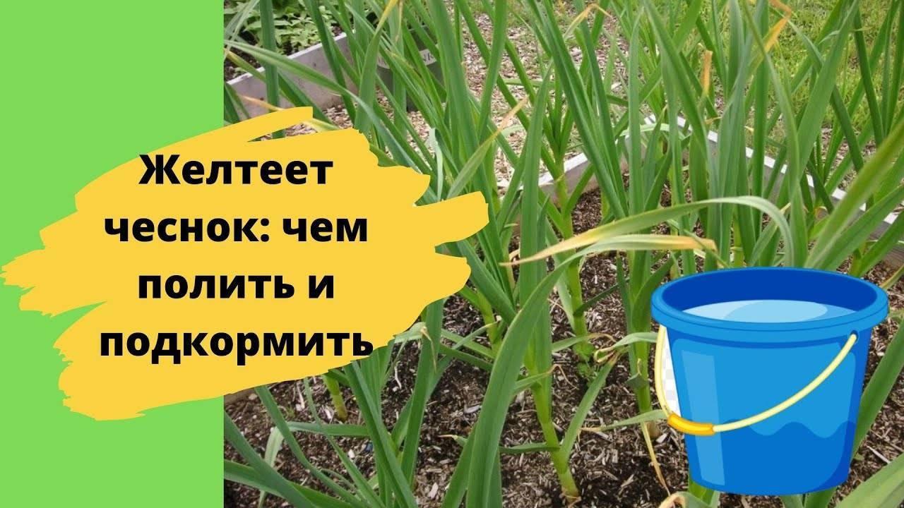 Чем поливать чеснок, чтобы не желтели листья?