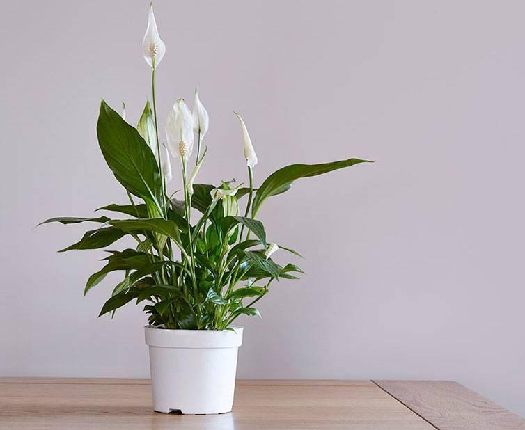 Комнатное растение спатифиллум: фото видов и описание с названиями, выращивание в домашних условиях