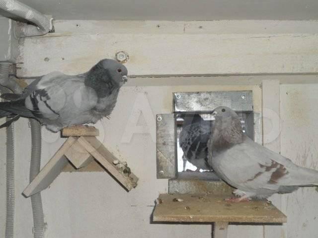 Немецкая порода голубей крестовые монахи - агрономwiki