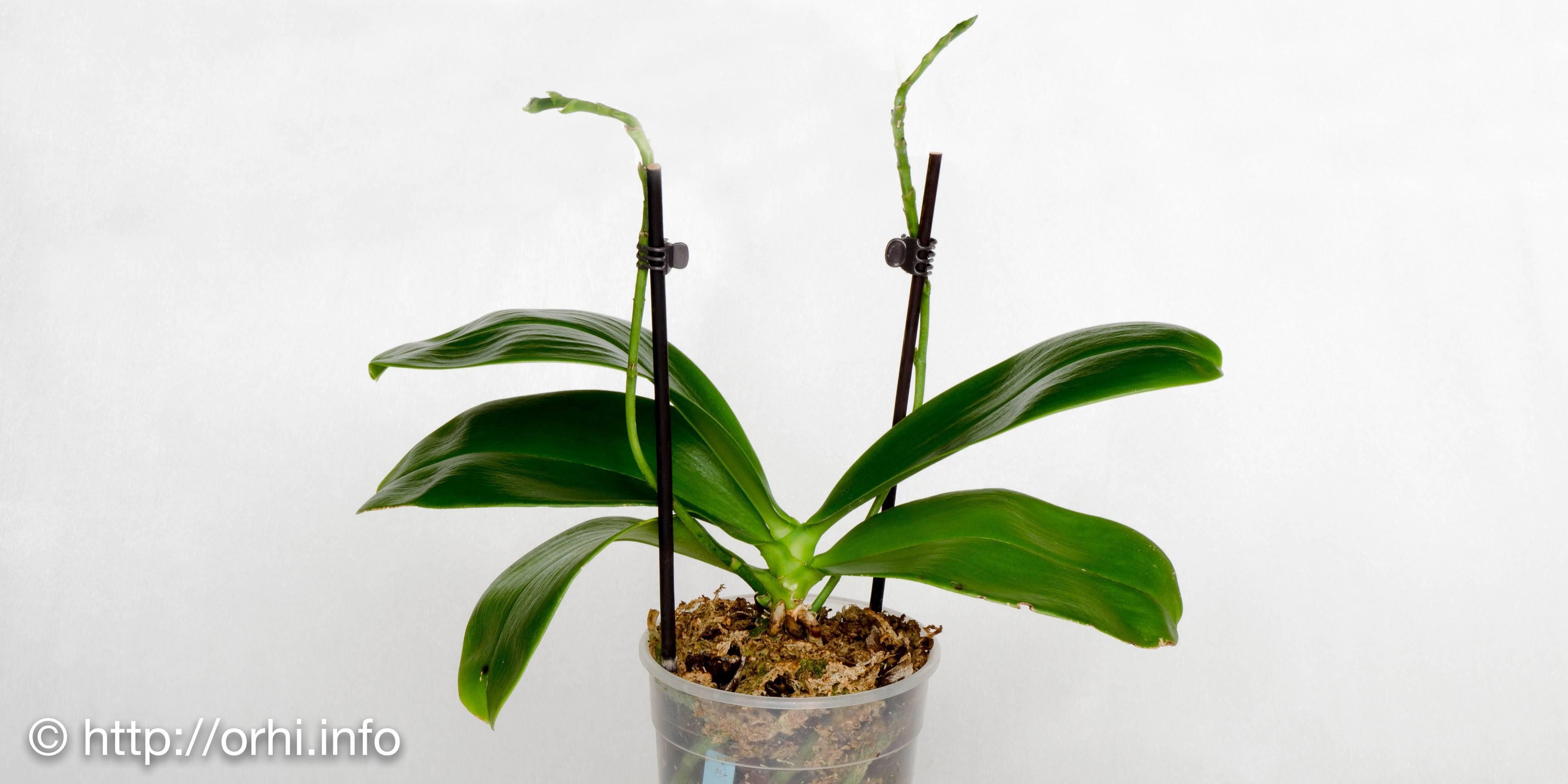 Что делать с орхидеей после цветения и нужно ли удалять стрелку