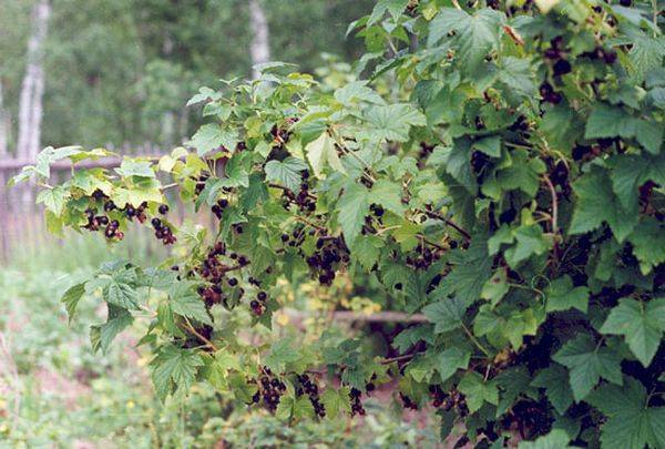 Посадка смородины саженцами весной в открытый грунт: сроки и пошаговая инструкция